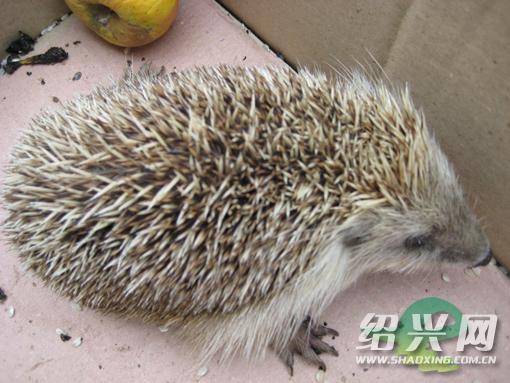 刺猬列于兽类保护动物名录中